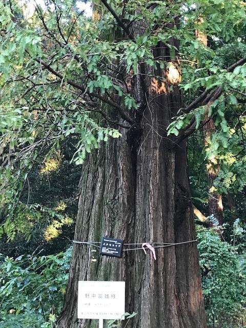 本物に比べると極細。個人寄贈木!