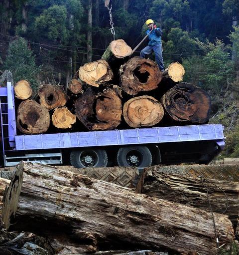 山中から運び出された屋久杉の土埋木=2016年2月、屋久島町=2016年2月、屋久島町 屋久島ポストニュースより