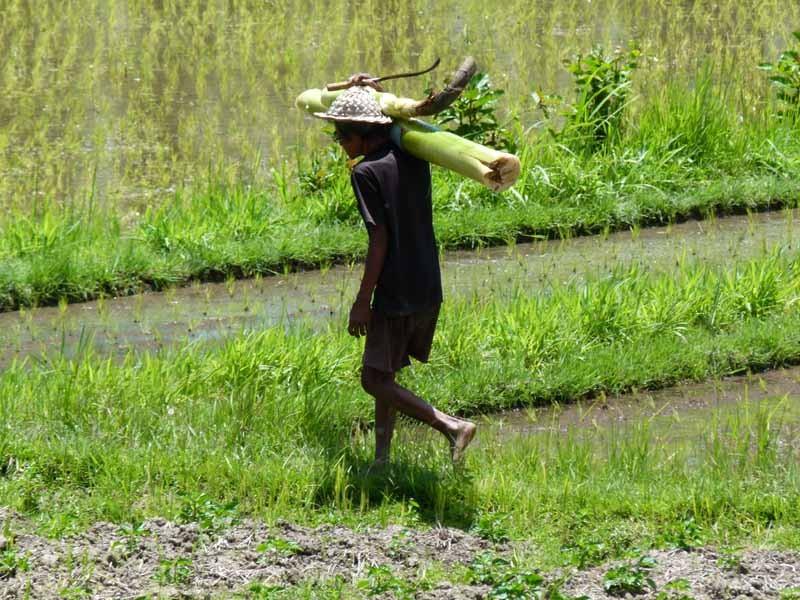 Dies ist ein echter Reisbauer