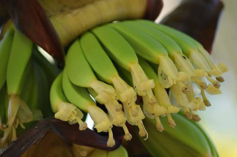 gerade wachsende Bananen