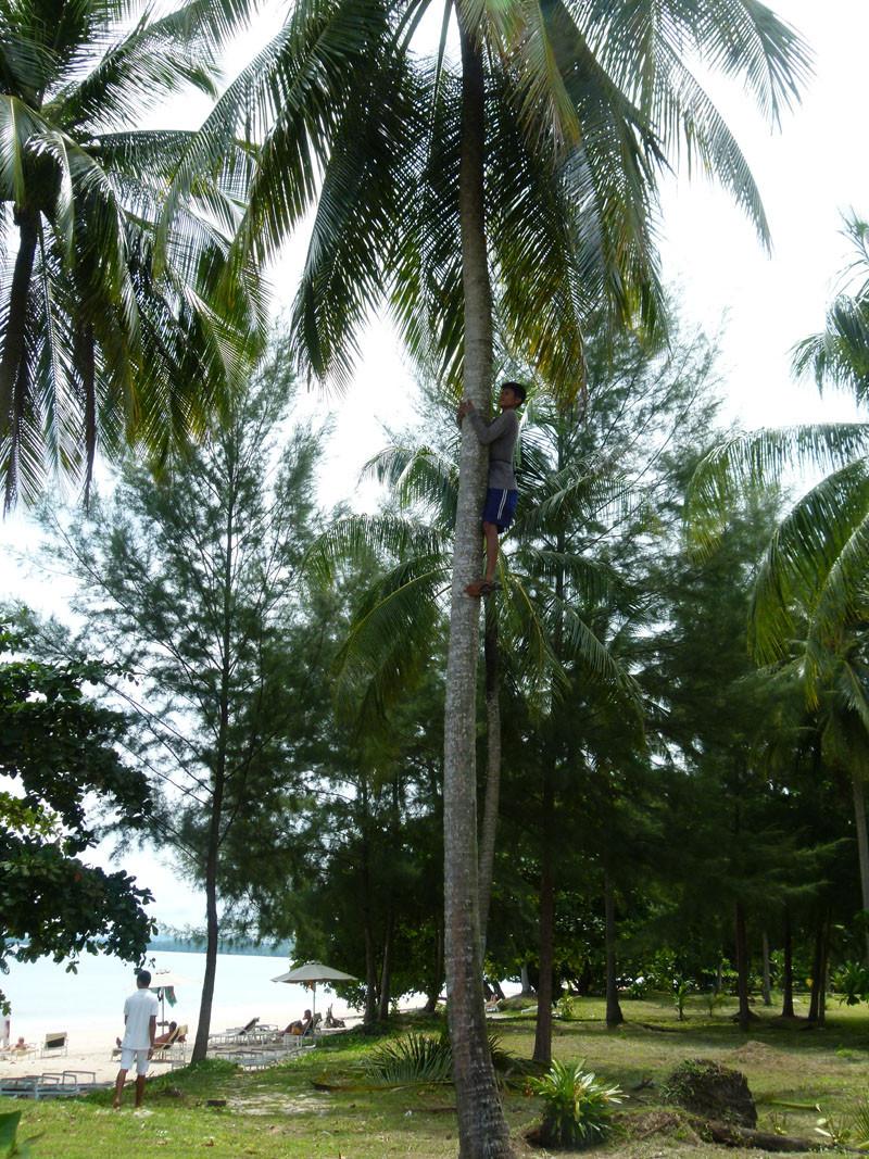 Flink wie die Wiesel klettern die Burschen die Palmen hinauf