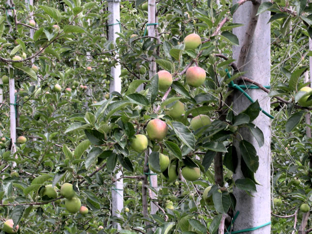 Das Südtiroler Obst reift