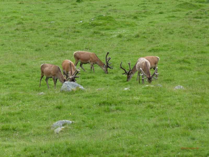 Ein Rudel Hirsche in freier Wildbahn - fast schon eine Seltenheit