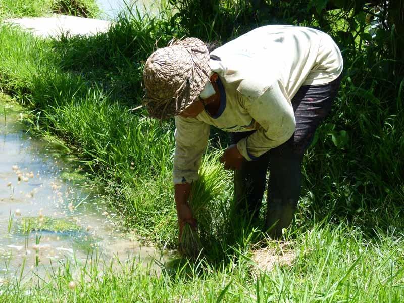 Reispflanzen stecken ist die nächste Übung