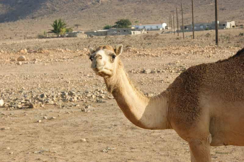 Guten Morgen liebes Kamel