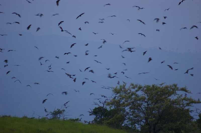 Hunderte von fliegenden Hunden