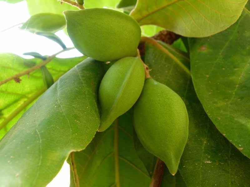 Die Früchte schmecken ähnlich wie Cashew Nüsse