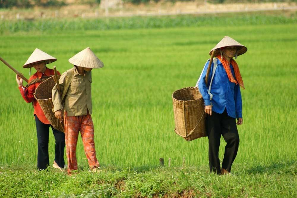 Auf dem Reisfeld