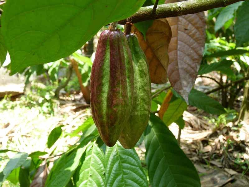 Es wachsen auch Kakaobäume dazwischen