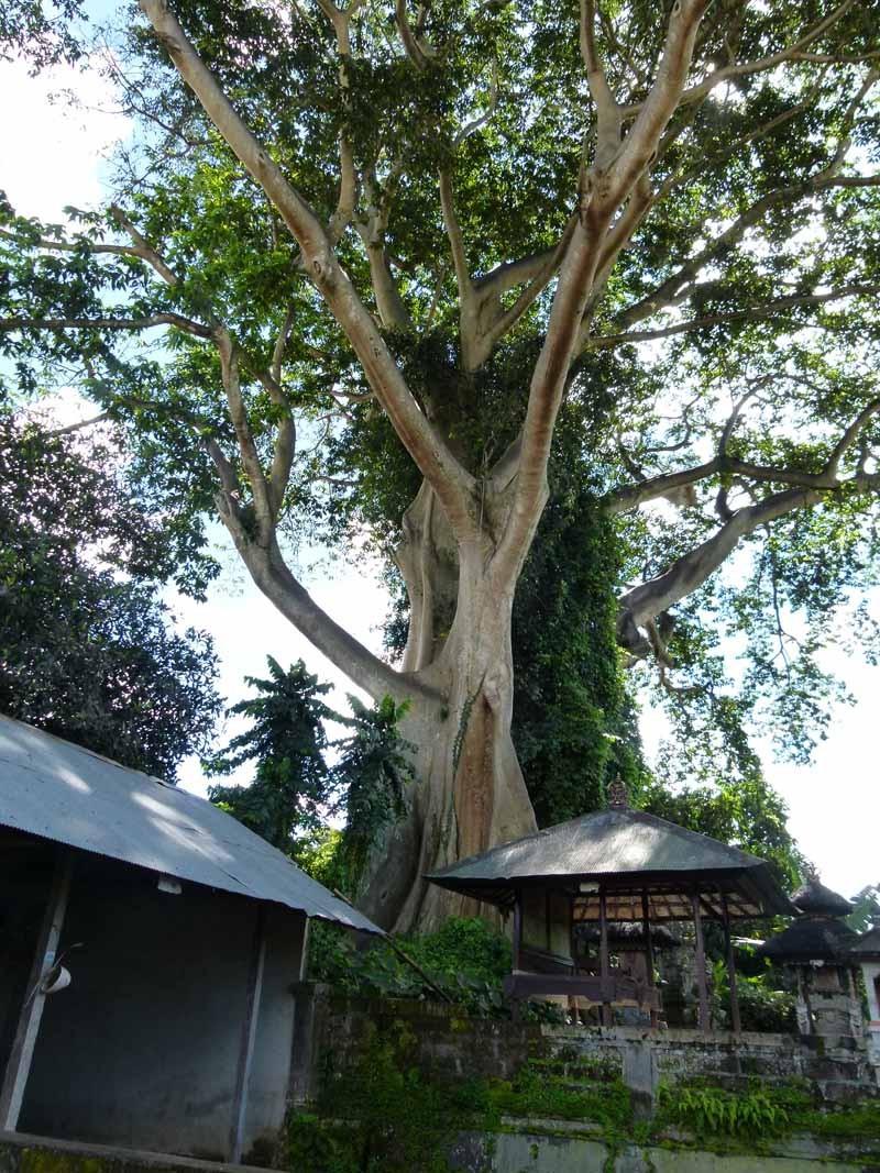 Der größte Ficus, den wir je sahen