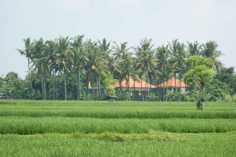Erste Reisfelder