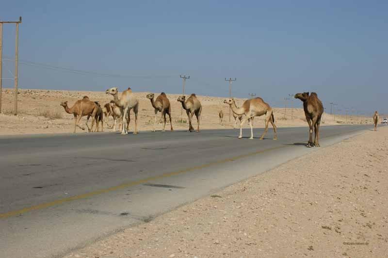 Kamele blockieren den Verkehr