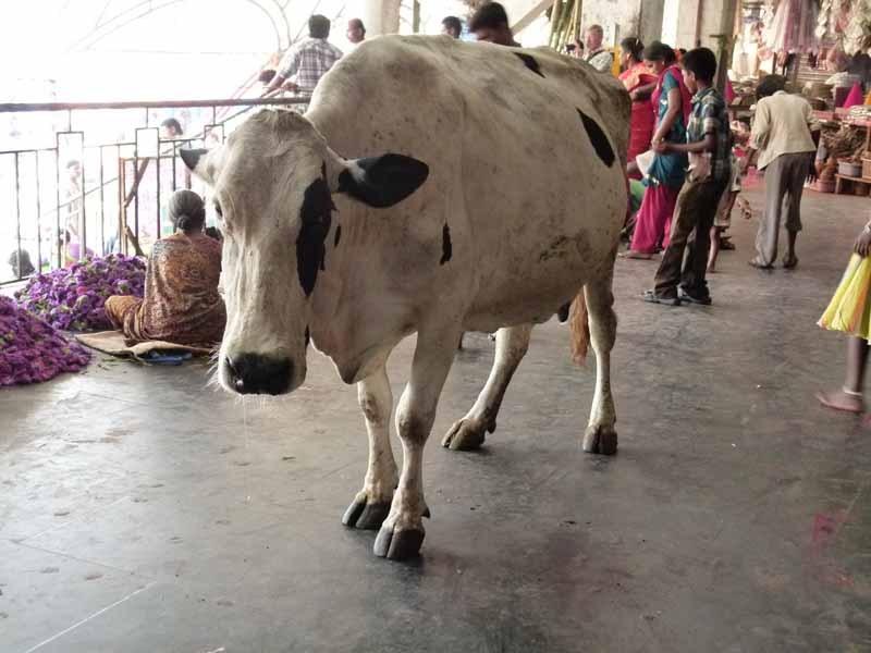 ... die Kuh