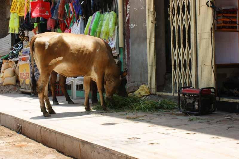 Und mittendrin die Kuh