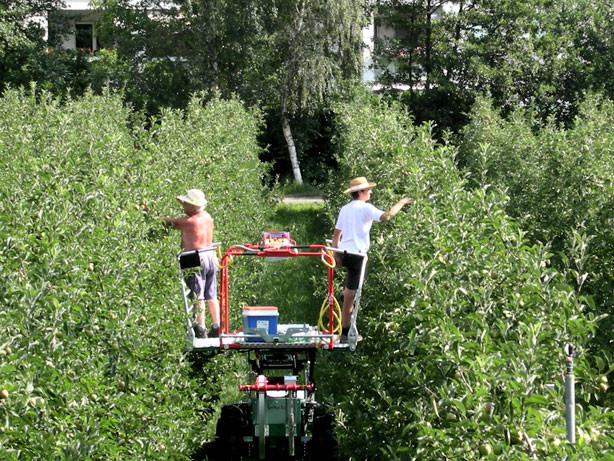 Durch die Obstplantagen, die schlechten werden schon aussortiert ...