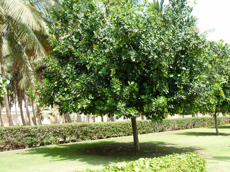Bäume, im Auftrag des Sultans gepflanzt