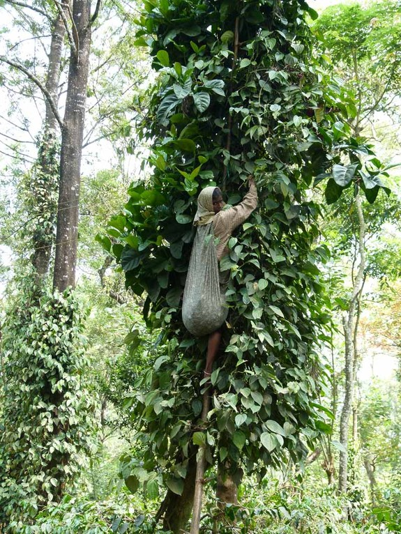 Sehr wackelig hängen sie in den Bäumen und müssen den Pfeffer ernten