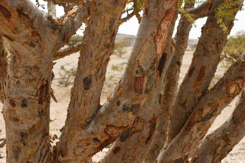 Stamm eines Weihrauchbaumes