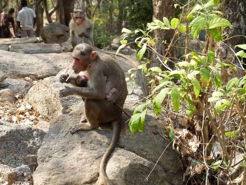 Überall wimmelt es von Affen