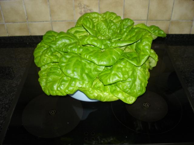 Aquaponik Kopfsalat
