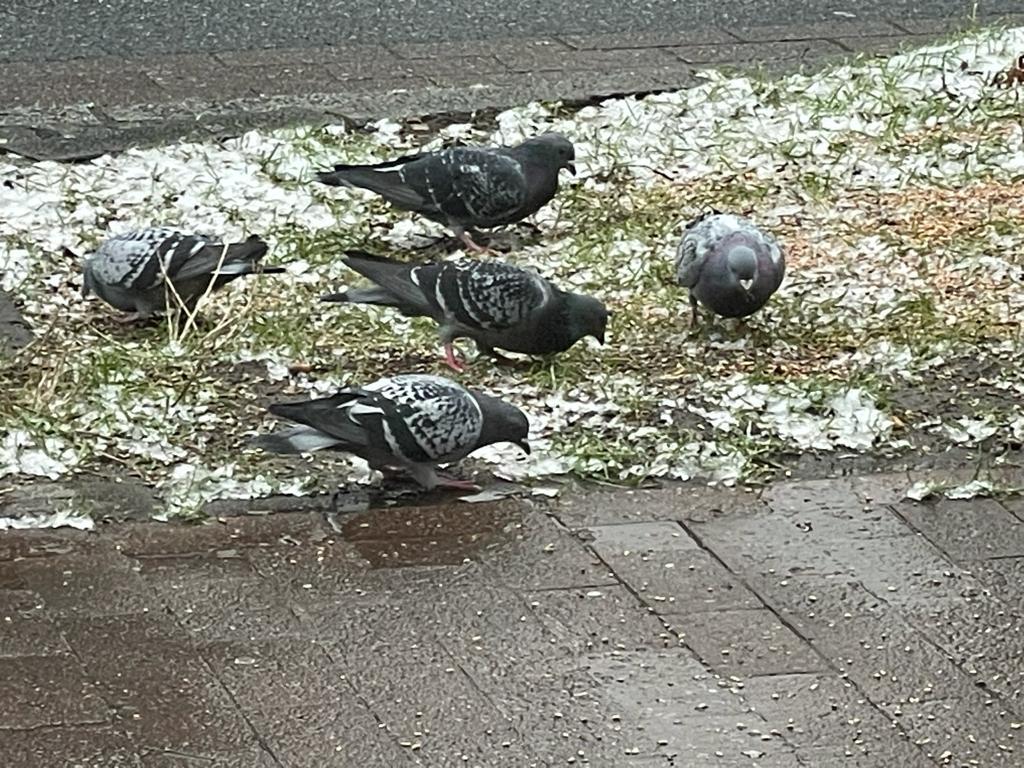 Tauben füttern in Bremen bisher nicht verboten