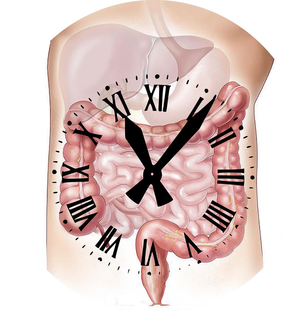 L'horloge des organes