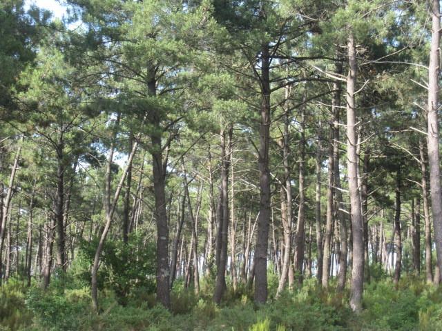 la forêt médocaine