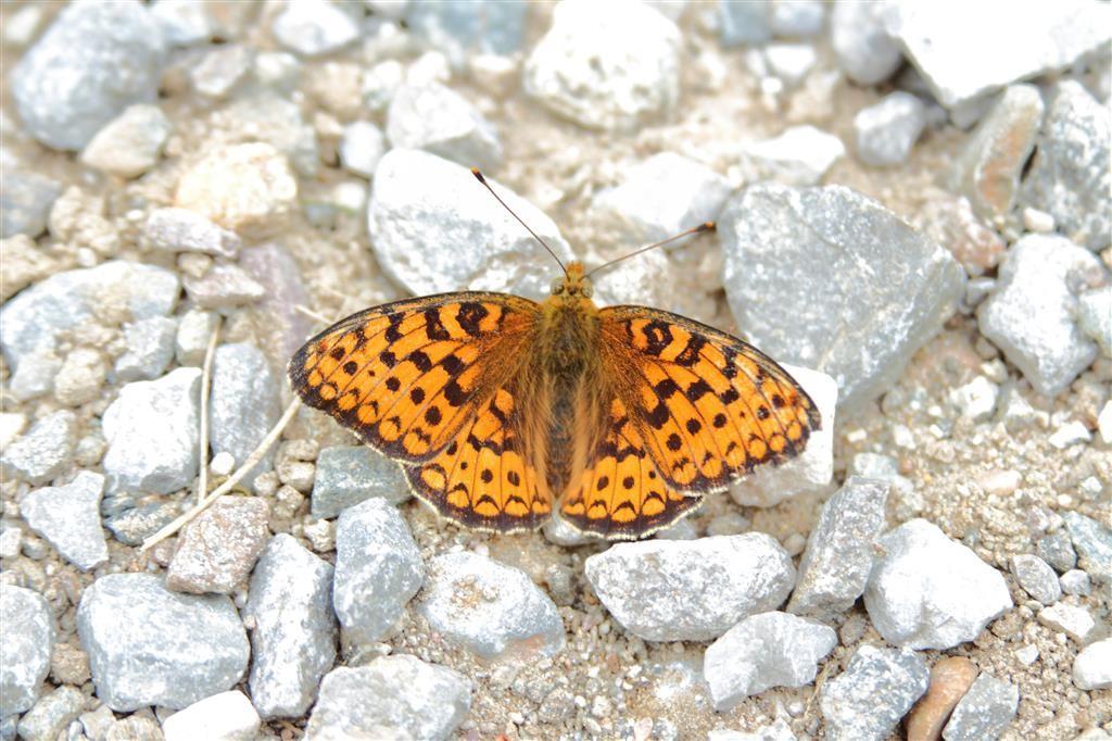 Farfalla della....Val di Sole...