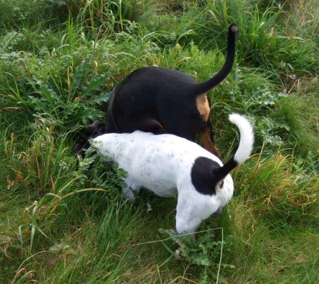 Mäusejagd mit Kumpel Connor (Jack Russell Terrier)