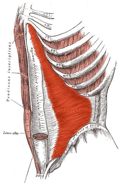 Transversus abdominis Rumpfkraft Rumpfmuskulatur Core Core-Training Bauchmuskeln Abs