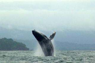 Walbeobachtung - Buckelwale an der Pazifikküste - Chocó