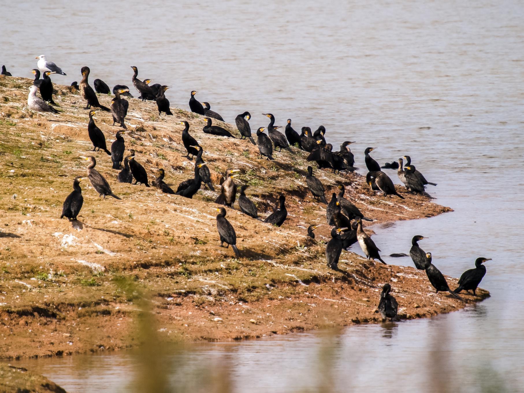 Kormorane sitzen am Ufer des westlichen Teiches.
