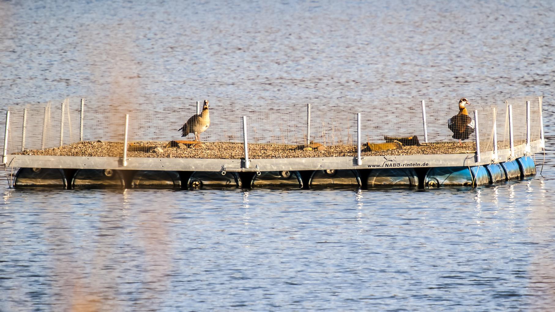 Zwei Nilgänse haben das Flussseeschwalbenfloß entdeckt.