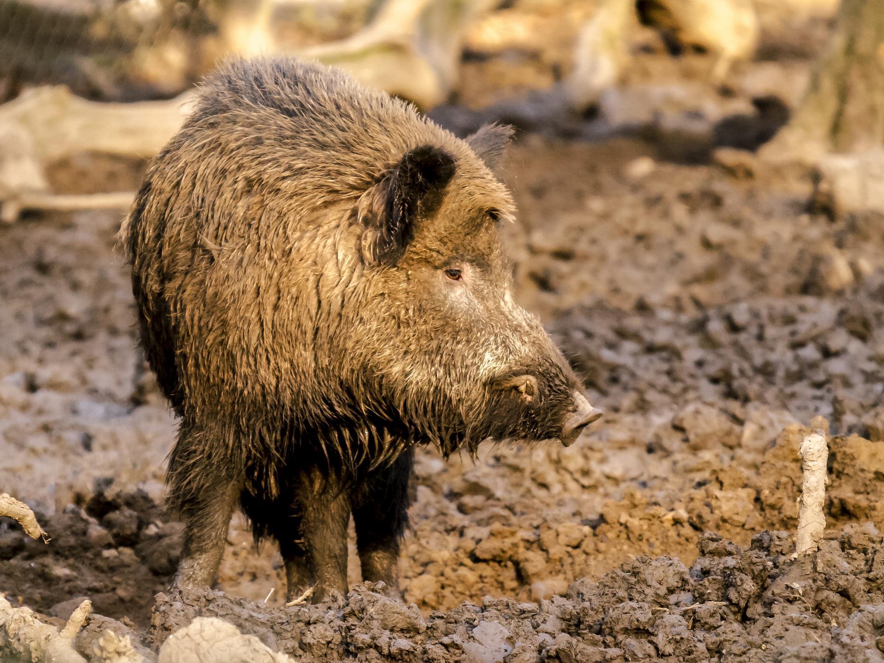 Auch Wildschweine haben die Auenlandschaft für sich entdeckt. Alle Bilder: Kathy Büscher.