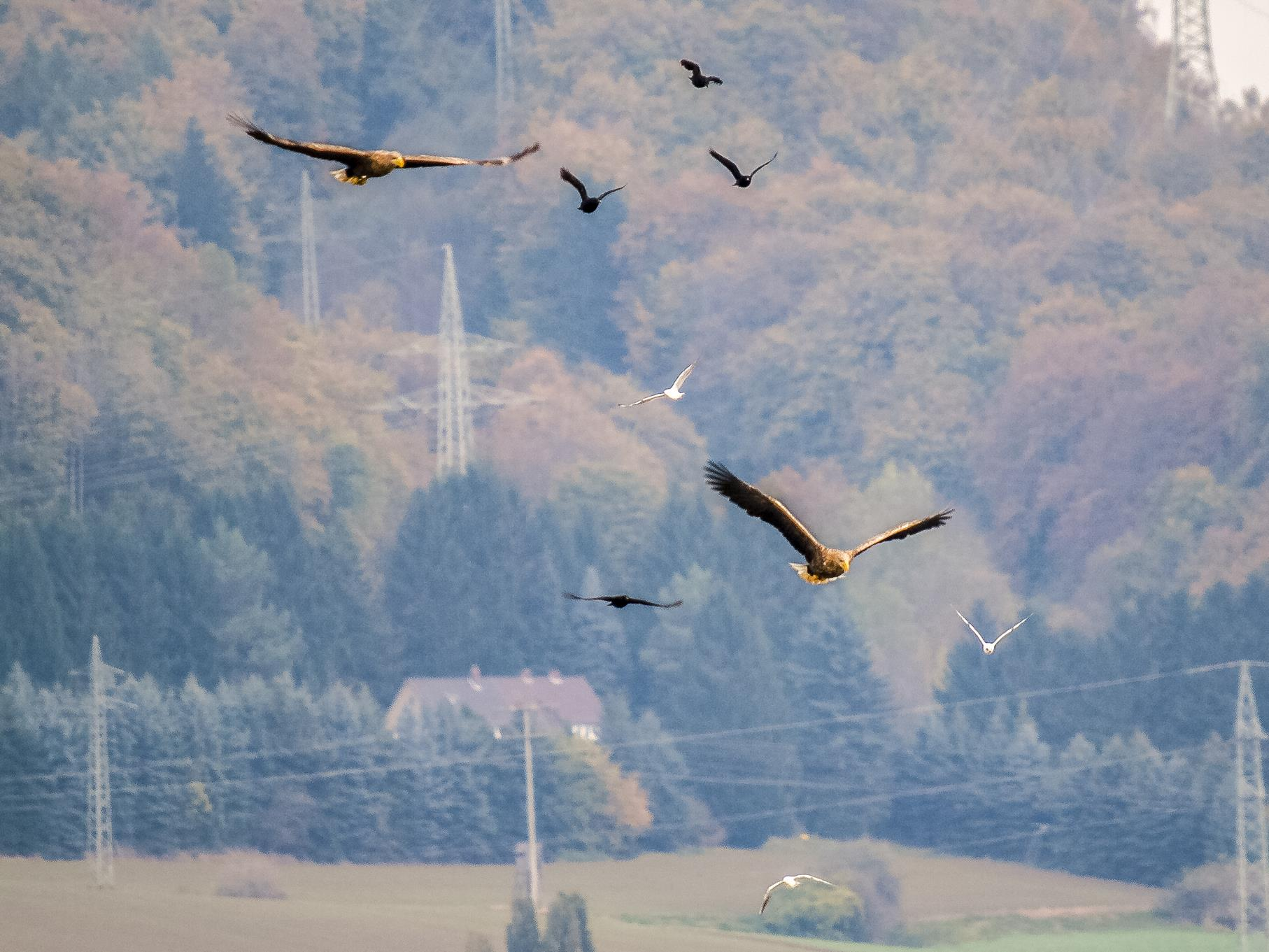 Die beiden Seeadler am Himmel werden von Krähen und Möwen verfolgt.