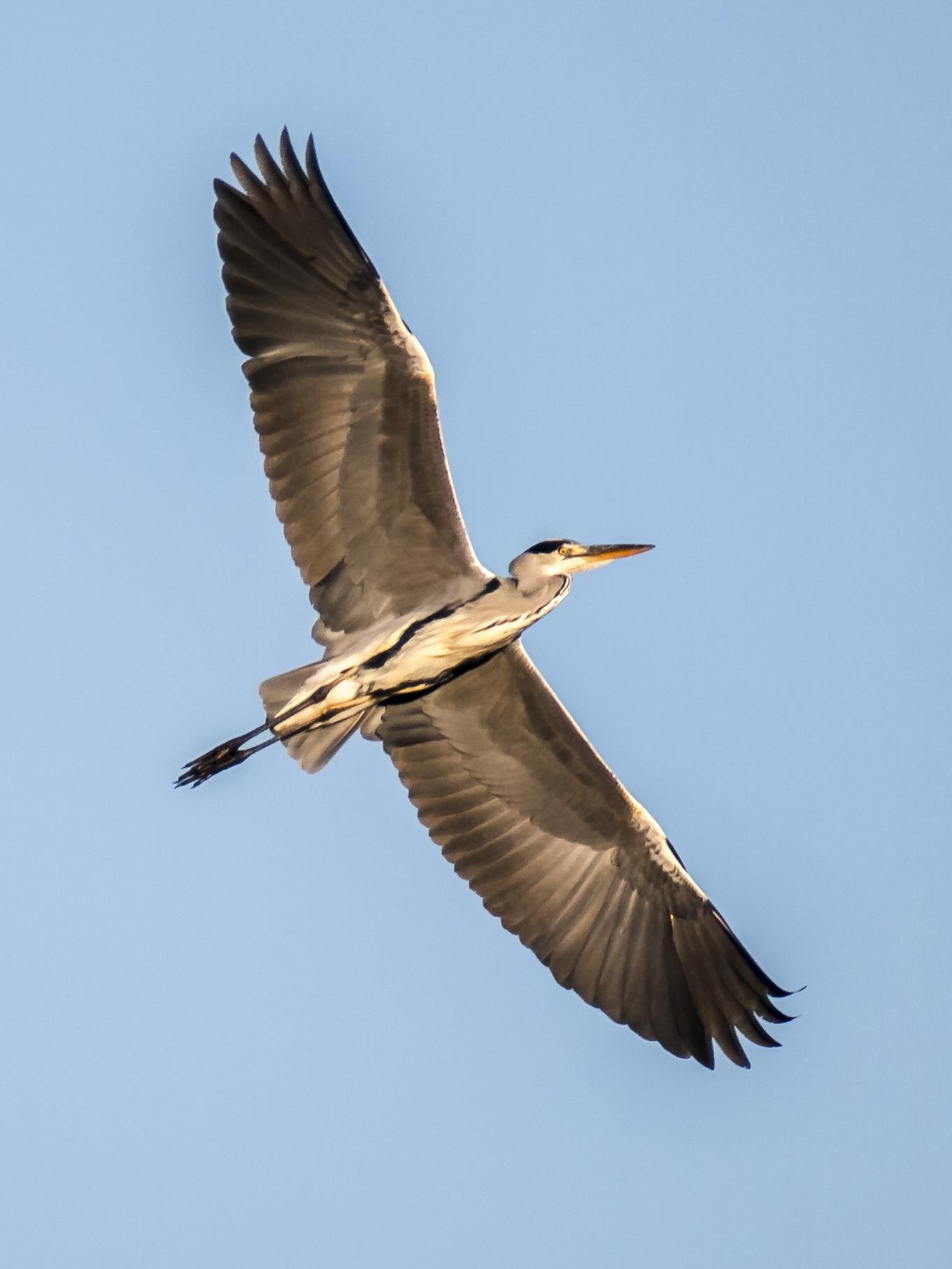 Ein aufgeflogener Graureiher am Himmel.