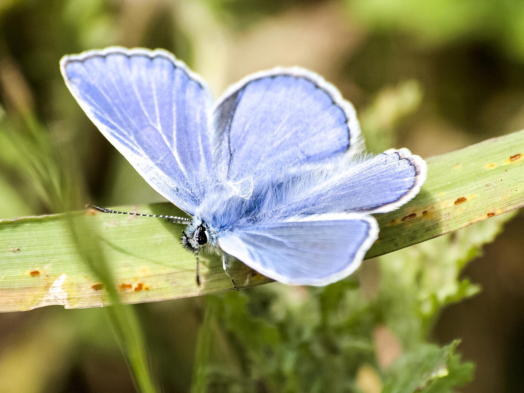 Unter den vorhandenen Schmetterlingsarten sind auch Bläulinge.