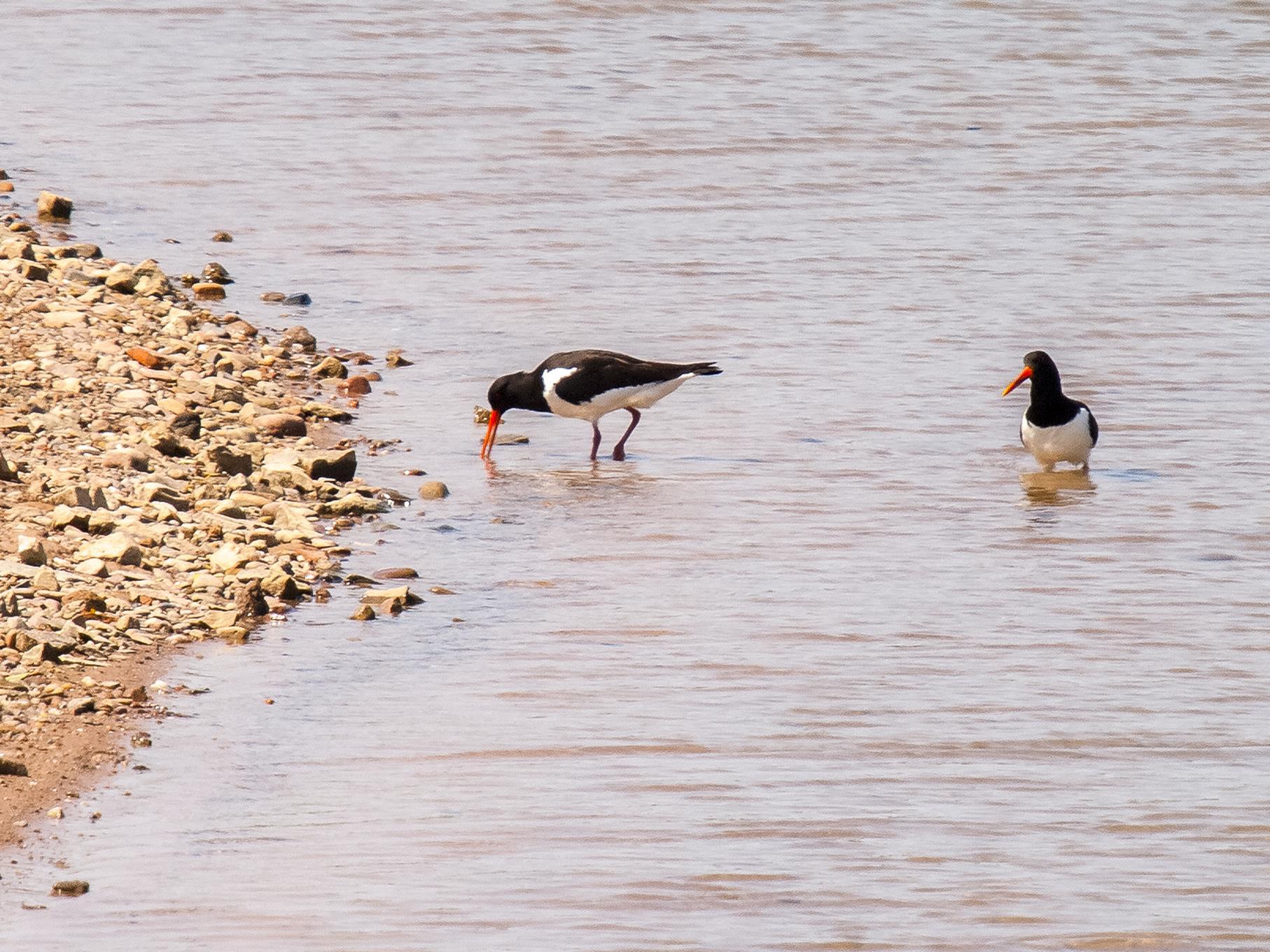 Zwei Austernfischer suchen in den Uferbereichen nach Nahrung.