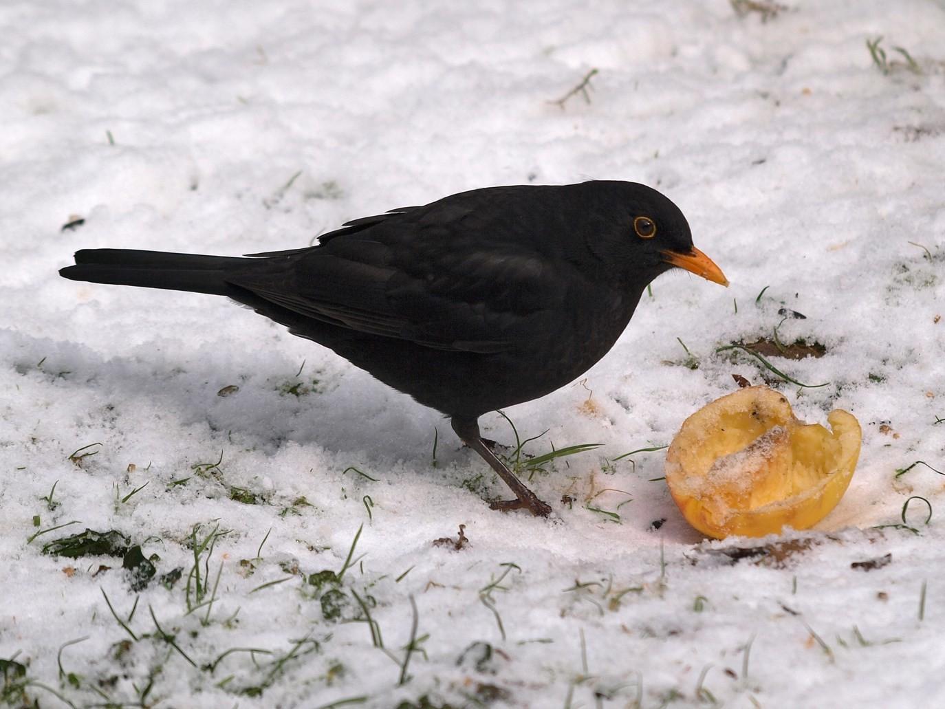 Amsel-Männchen im Winter an einem Apfel. - Foto: Kathy Büscher