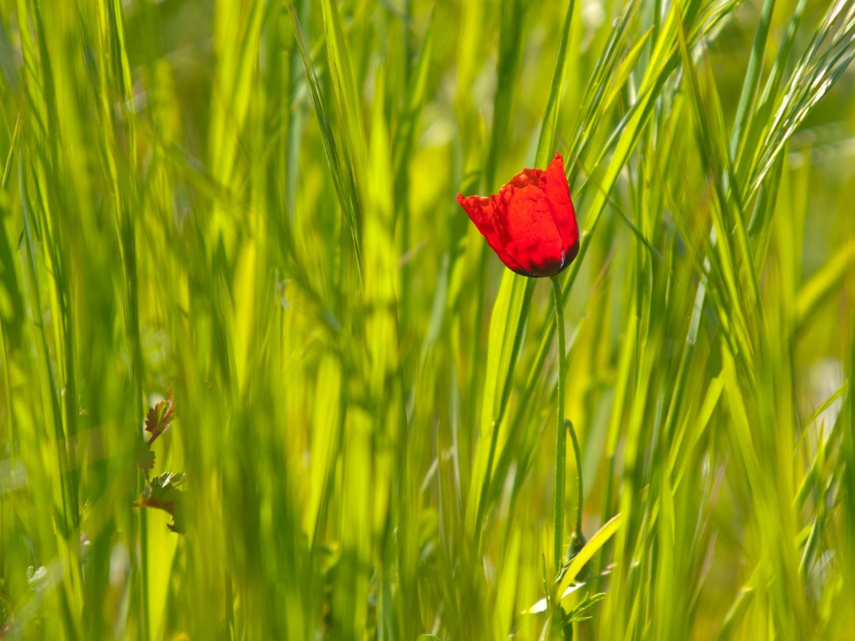 Mohnblüte im Getreidefeld. - Foto: Kathy Büscher
