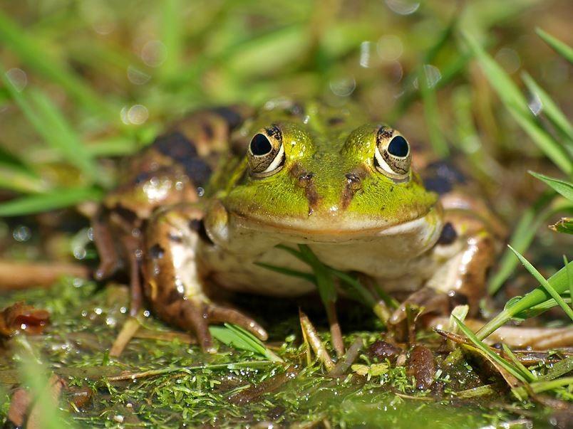 Neugieriger Frosch am Teich, der sich neben dem Seminarhaus befindet. - Foto: Kathy Büscher