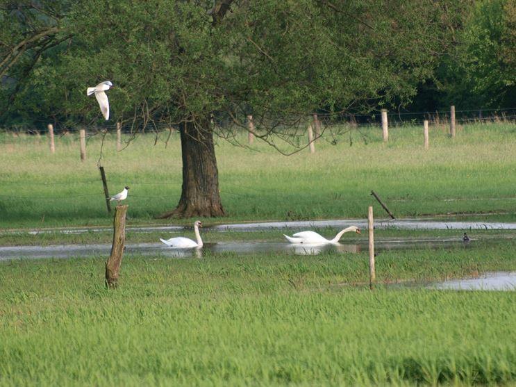 Wasservögel nutzen die Feuchtwiesen zum Rasten und für die Futtersuche. - Foto: Kathy Büscher