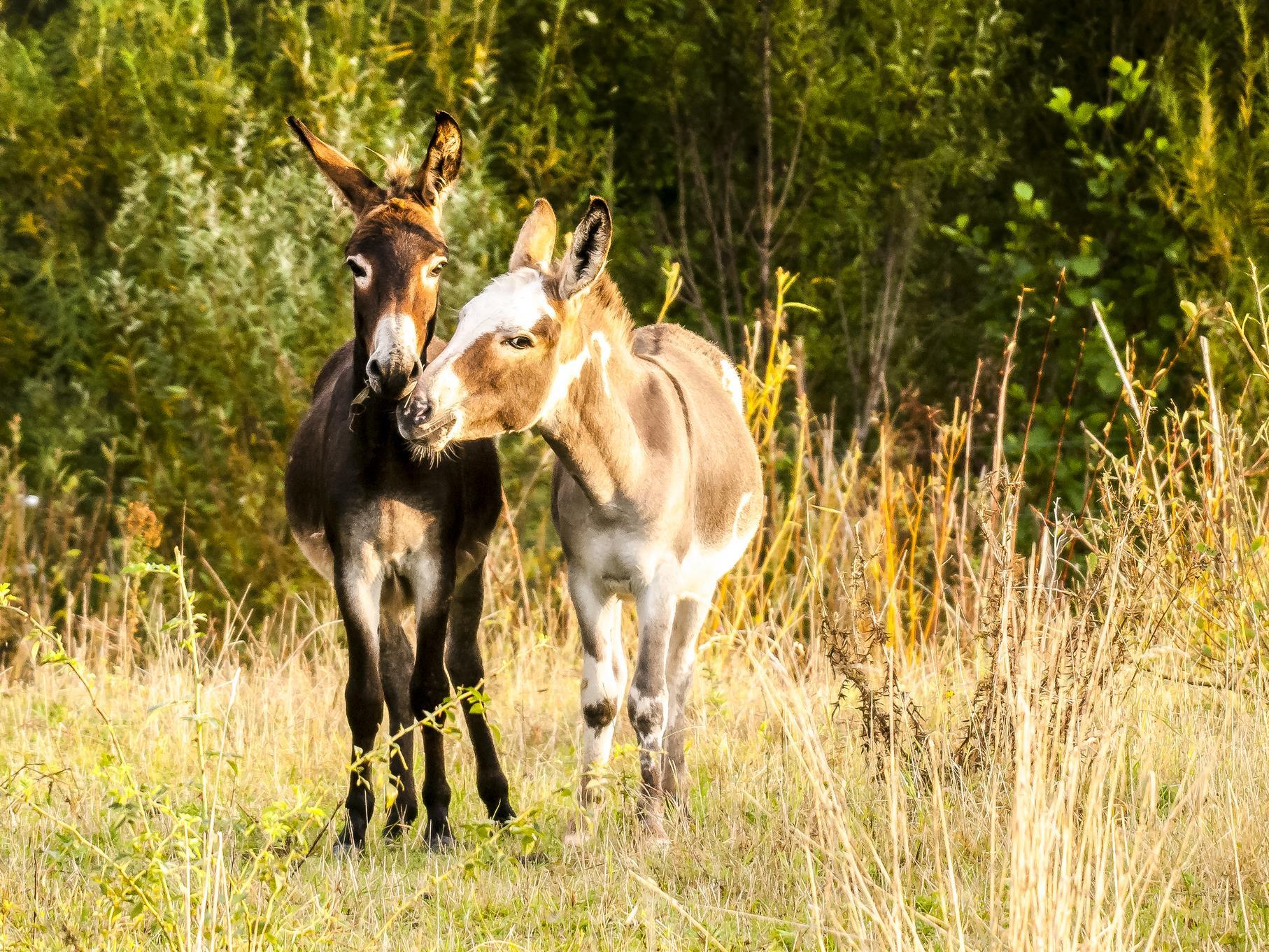 Die beiden Esel fühlen sich auf der Weide am Rundweg wohl.
