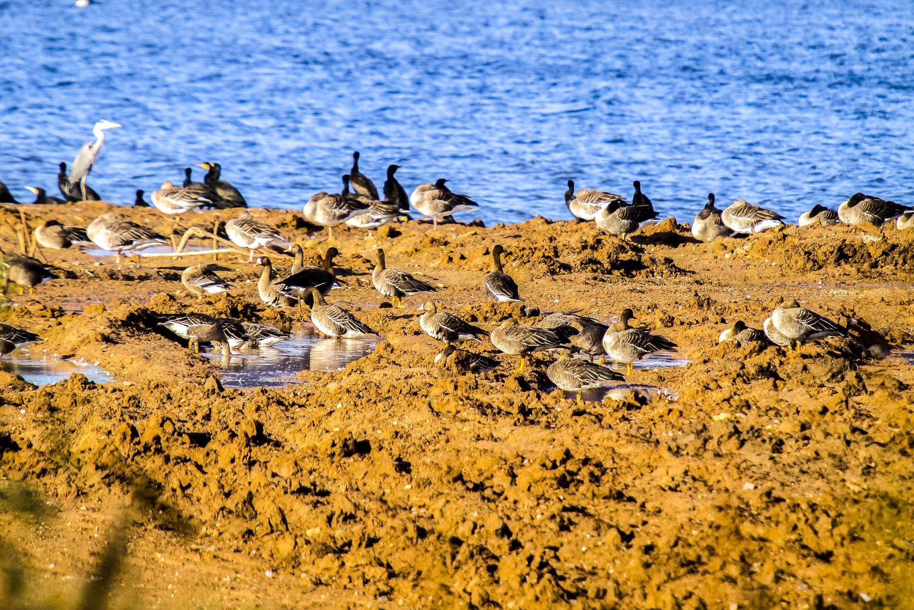Bläss- und Graugänse sowie Graureiher und Kormorane tummeln sich auf der frisch abgeschobenen flachen Insel.