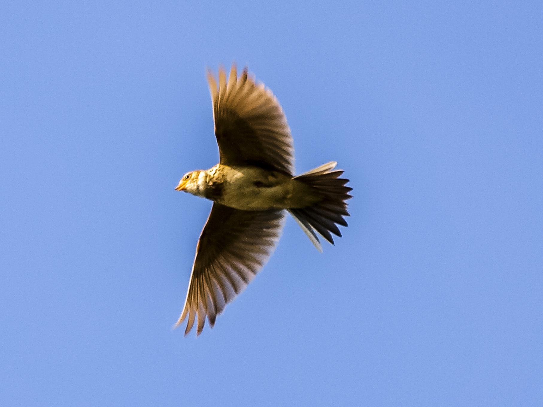 Eine Feldlerche fliegt am Himmel.