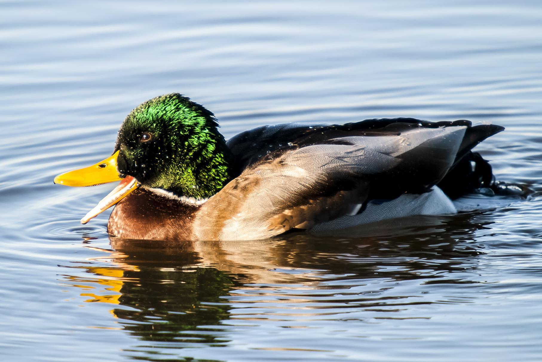 Ein Stockenten-Männchen im Wasser. Regelmäßig sind diese an den Teichen anwesend.