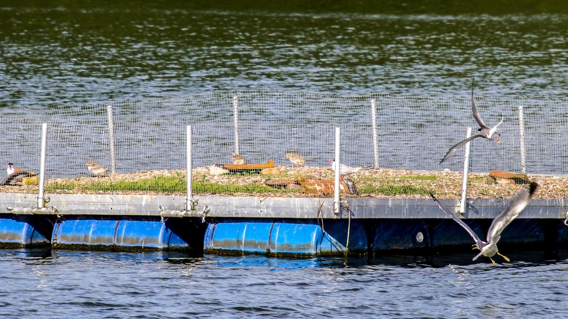 Noch ist auf dem Flussseeschwalbenfloß mächtig was los.