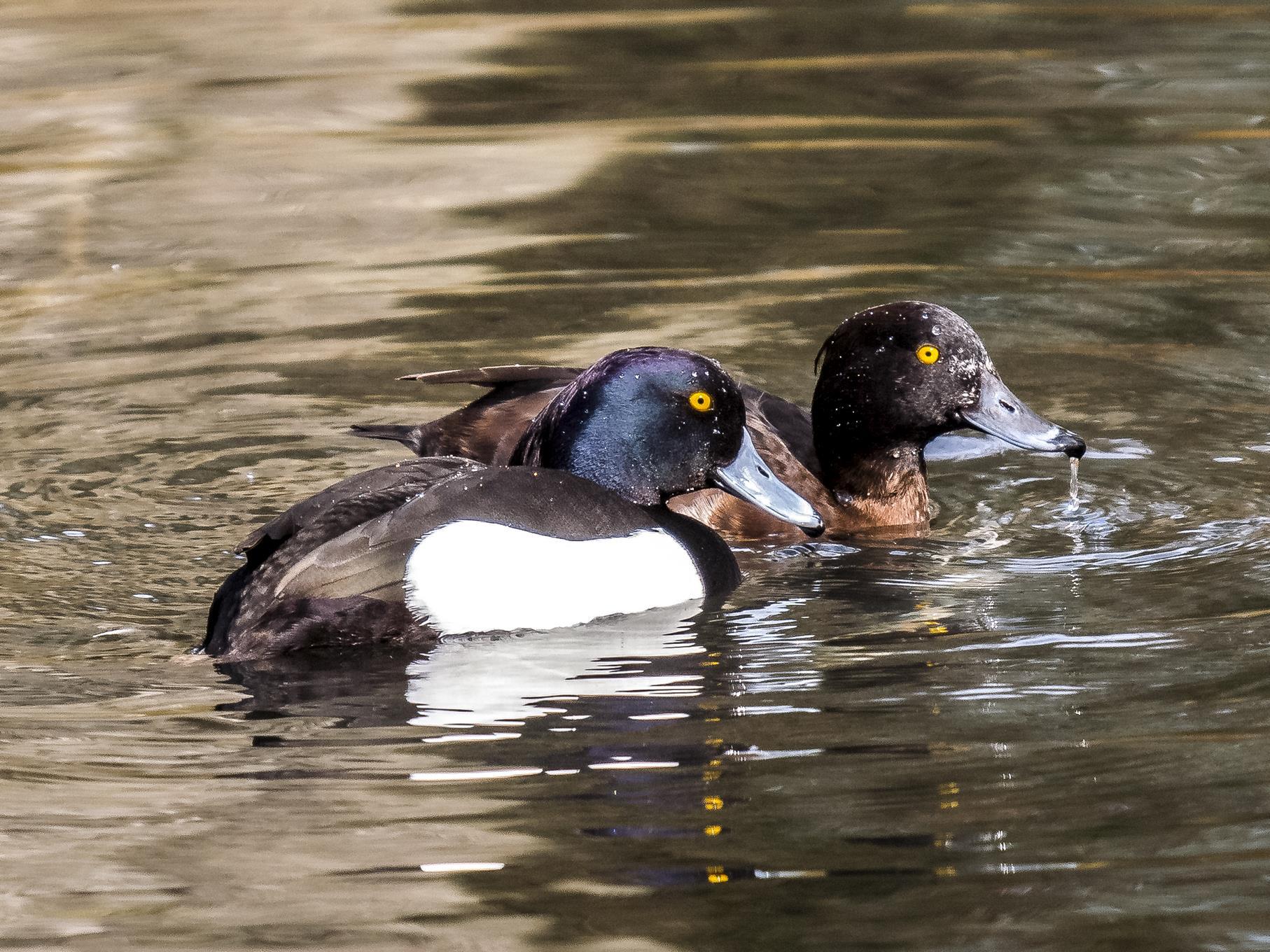 Ein Reiherenten-Paar auf dem Wasser.