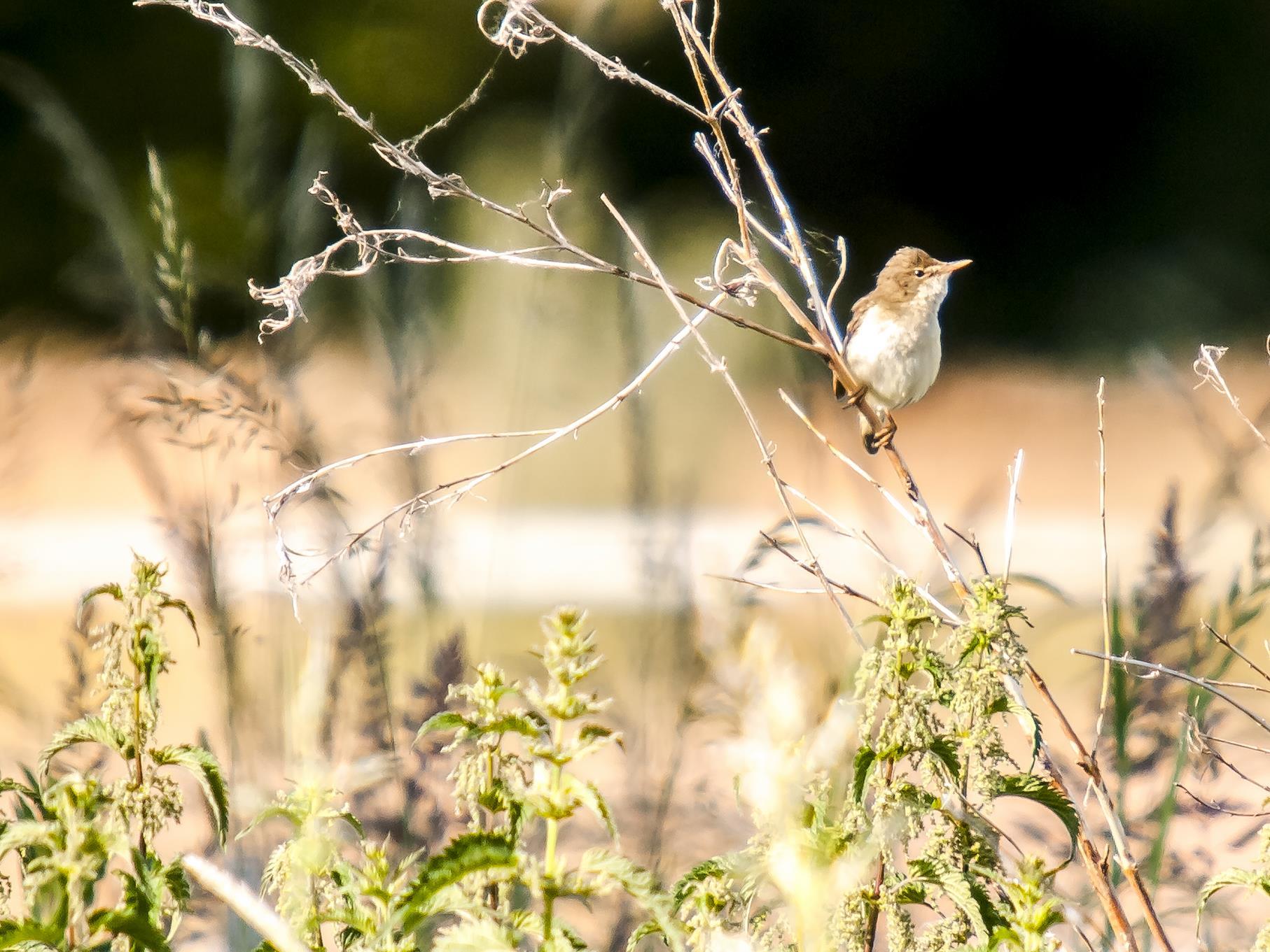 Teichrohrsänger singen in den Uferbereichen des Naturschutzgebietes.