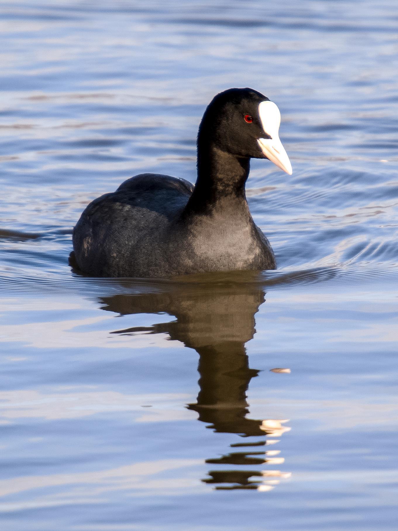 Eines der Blässhühner, die sonst in kleineren Gruppen zusammen schwimmen. Alle Bilder: Kathy Büscher.